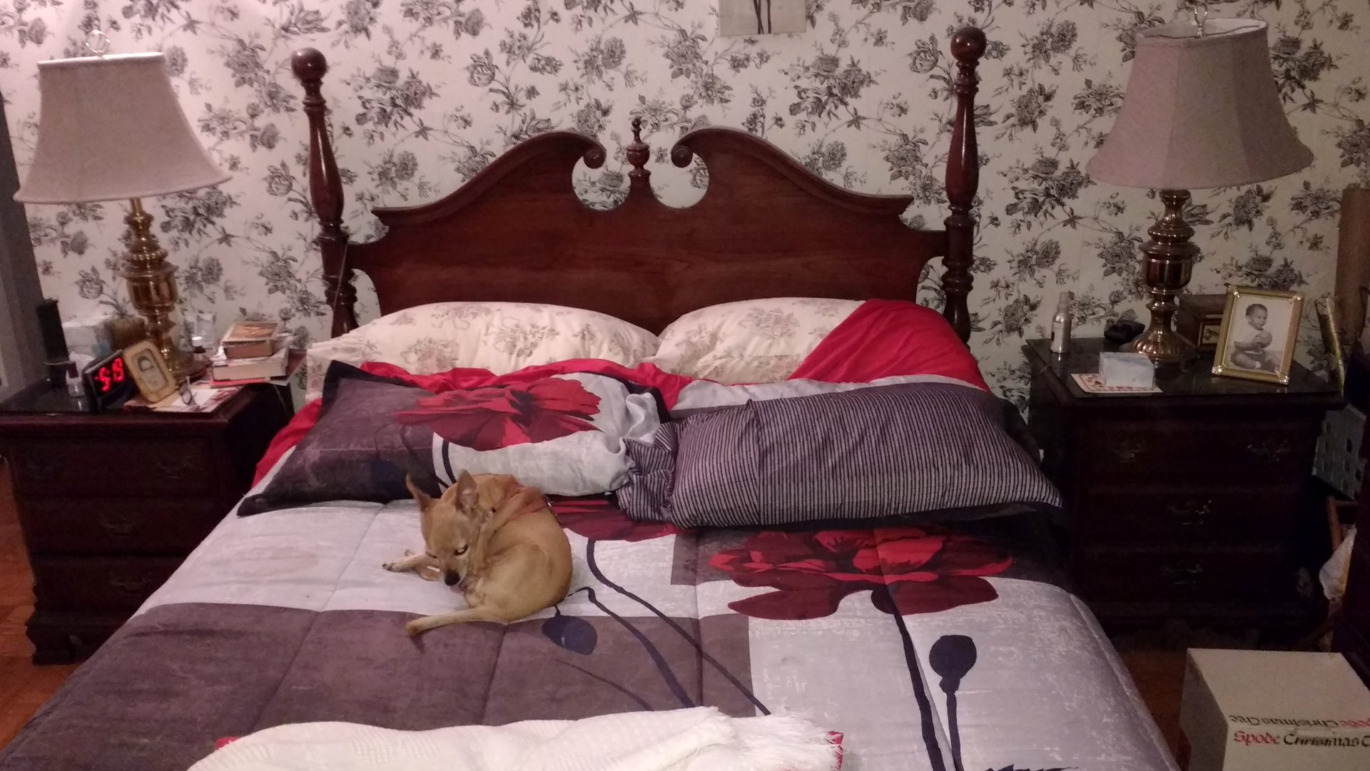 A brown chihuahua sitting on top of a queen size bed