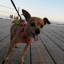 Intrepid Chihuahua, Tiki Zucman, struts down the Laguna Beach, Main Beach, Boardwalk, July 6th, 2014.